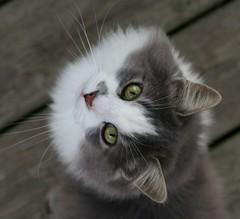 Things are lookin' up (Boered) Tags: cat interestingness eyes fuzzy lookingup cc400 animaladdiction abigfave lofnov sittingatmyfeet boc1106