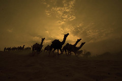 Camels Returning to Base at Dusk, Pushkar Cattle Fair-2006 (Captain Suresh Sharma) Tags: travel sunset india black heritage crimson animals silhouette clouds evening bravo asia desert searchthebest sundown adult market outdoor dusk sale traditional famous group dry running fair run business event domestic camel trading return buy production annual sell pushkar herd arid nomads thar rajasthan saffron mela domesticated herding magicdonkey mammels outstandingshots specnature fivestarsgallery abigfave expd rammorrisonfav