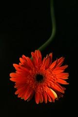 (corbata1982) Tags: flower lafotodelasemana flor gérbera corbata1982 fondonegro gérberas lfs112006