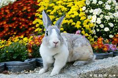 fukusuke-pon  (fukusuke-pon ) Tags: pet cute rabbit bunny japan conejo adorable mum osaka coelho  chrysanthemum kaninchen coniglio  chrysanth