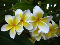 "frangipani • <a style=""font-size:0.8em;"" href=""http://www.flickr.com/photos/70272381@N00/295286463/"" target=""_blank"">View on Flickr</a>"