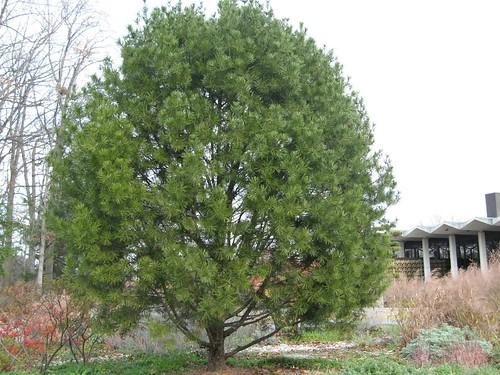 Pinus bungeana tree