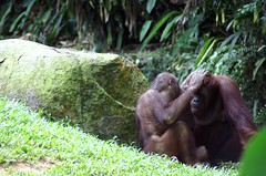 Orangutans at Singapore Zoo (dbillian) Tags: nature animal animals zoo singapore wildlife great malaysia borneo orangutan ape damon primate apes zoos primates orangutans bornean damonbillian billian