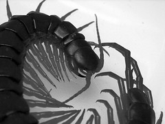 Scolopendra subspinipes (Furryscaly) Tags: blackandwhite bw pet white black macro animal closeup bug blackwhite vietnamese legs critter jaws curled desaturated curl grayscale fangs coil llimbs centipede captive creature arthropoda antennae captivity poisonous venomous greyscale invertebrate coiled arthropod mandibles myriapod giantcentipede myriapoda scolopendra chilopoda maxillipeds scolopendrasubspinipes ectothermic vietnamesegiantcentipede scolopendrasubspinipesdehaani mauchaucentipede mauchau taxonomy:kingdom=animalia taxonomy:class=chilopoda taxonomy:phylum=arthropoda taxonomy:order=scolopendromorpha taxonomy:family=scolopendridae taxonomy:genus=scolopendra taxonomy:binomial=scolopendrasubspinipes taxonomy:subphylum=myriapoda