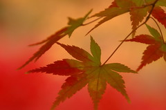 Autumn colors at Tofukuji (kaycatt*) Tags: autumn macro leaves maple bokeh quality d70s autumnleaves autumncolors momiji japanesemaple autumncolor tamron90 magicdonkey  instantfave gtaggroup goddaym1 abigfave