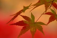 Autumn colors at Tofukuji (kaycatt*) Tags: autumn macro leaves maple bokeh quality d70s autumnleaves autumncolors momiji japanesemaple autumncolor tamron90 magicdonkey  instantfave gtaggroup goddaym1 abigfave