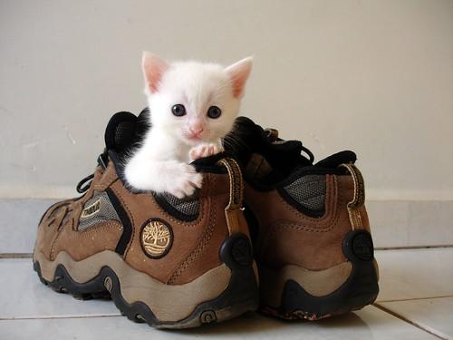 cute kitten fits in shoe funny cat pic