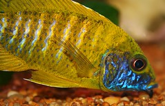 Yummm! (kotobuki711) Tags: blue pet fish male green water yellow aquarium tank eating african peacock eat scales iridescent hungry striped speckled fins cichlid scavenging specnature