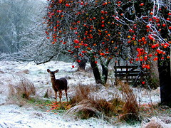 Winter Meal (Jan Tik) Tags: winter red food white snow apple nature animal animals washington wildlife deer kingston meal creativecommons apples abw beautifulearth abigfave omot colorphotoaward