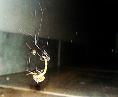aranha e escorpio (clurichaun) Tags: spider bed k750i insects scorpion cama struggle webb deadly batalha insetos aranha teia danielduende letal ninhodosescorpies escorpio