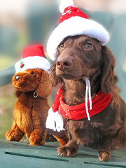 Teddydog and Teddy (Doxieone) Tags: christmas red dog brown hat animal interestingness stuffed chair long teddy chocolate 2006 dachshund explore v final exploreinterestingness haired dogtoy mostpopular ggg 1002 longhaired onexplore final2 topfavorite explored outstandingshots abigfave outstandingshotshighlight impressedbeauty 27621122 40012426 50230125 60334127 658361212 762421220 8504414 9314521 holidayseason2006set 105048429 teddyset 141449011508 christmaspast2008set ddate