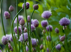 chives01