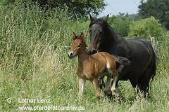 _LE47860 (Lothar Lenz) Tags: pferd fohlen fellpony lotharlenz