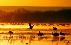 Magic Bosque Morn (Fort Photo) Tags: morning travel sky orange sun newmexico color reflection bird nature birds animal silhouette clouds sunrise landscape gold dawn topf50 topv555 nikon bravo searchthebest crane quality wildlife magic birding flight 2006 aves cranes bosque ave birdsinflight nm waterfowl ornithology bosquedelapache avian sunup daybreak sandhillcrane bif morn firstlight abw naturesfinest vibrancy wildbird spectacolor magicdonkey 100faves 50faves birdphoto outstandingshots 200viewswinner specnature selectedasthebest spselection nikonstunninggallery animalkingdomelite abigfave flickrgold bestnaturetnc06 anawesomeshot bosquedelapachenationalwildliferefuge superaplus aplusphoto firsttheearth lightstylus alemdagqualityonlyclub