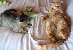 HELP !!! I'm On My Back and I Can't Get UP !!!! (rainy city) Tags: cats toys 200views top20catpix simba entitled creamsicles tabbycats ojitos cc100 lolcats bestofcats boc1206 lmaoanimalphotoaward