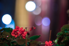 IMG_0383 (::Lens a Lot::) Tags: bokeh flower blossom depth field green red purple orange pink yellow blue vintage made japan manual prime lens plante fleur extérieur paris | 2016 pentax asahi super takumar 105mm f28 1964 6 blades iris m42 close up