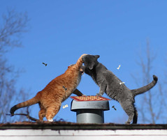 The Chess Match - Part 3 - Sore Loser! (Boered) Tags: cats game george fight kitten loser chess biting bite jinx ontheroof cc500 cc1000 cc900 cc1800 abigfave bonzag cat500 cat800
