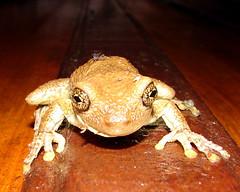A Visitor (Alexander Yates) Tags: travel brazil latinamerica southamerica nature animal brasil ilovenature frog swamp wildanimal writer pantanal novelist wetland passodolontra travelwriter alexanderyates