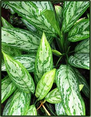 Aglaonema Nitidum 'Silver Queen', in our garden