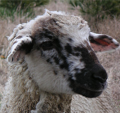 moddled-faced lamb