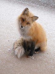Snowy Fox (Rob Lee) Tags: house cute colorado wildlife deck evergreen fox freddy freddythefox
