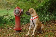 Captivated (snapstill studio) Tags: park dog fall texas michigan greatdane tex firehydrant top20dogpix stroll petoskey martinmcreynolds