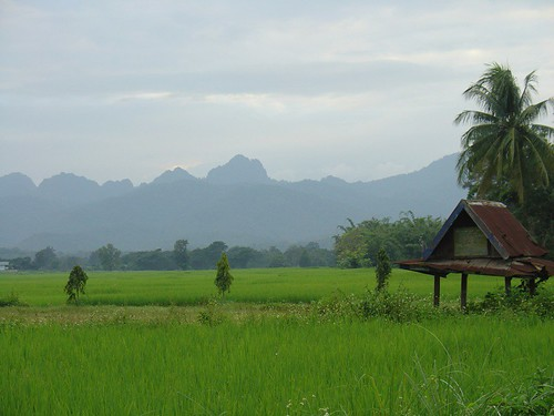 rice fields in chiang rai province