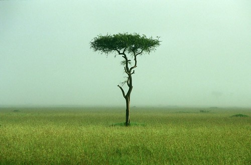 Acacia tree on the grassland
