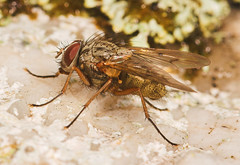 """Hairy Fly • <a style=""""font-size:0.8em;"""" href=""""http://www.flickr.com/photos/57024565@N00/260498201/"""" target=""""_blank"""">View on Flickr</a>"""