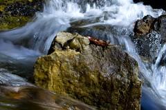 Solitude (or Taking a Breather) (Ian David Blm) Tags: fall wet water rock waterfall leaf stream natural running single solitary idb utatacolourblack utataleaf