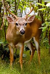 Key Deer Buck (key lime pie yumyum) Tags: eh delete10 delete9 delete2 miniature delete6 delete7 save3 delete8 delete3 delete delete4 save2 deer antlers save4 rack tiny save5 buck save6 floridakeys whitetail rut bigpinekey keydeer greatrack savezombizi