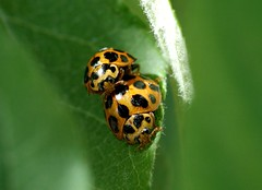 they're at it again! (michenv) Tags: red black cute leaf spring shiny insects spotty ladybird mating ladybugs ladybirds reproduction appletree humping albury promiscuous   matingseason   over100views michenv over10faves insectsmating