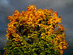 Maple Leaf Rag (oybay) Tags: autumn red sky sunlight color tree green fall colors leaves yellow oregon leaf colorful cloudy ominous albaluminis stormy orencostation