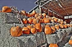 Orange Pumpkins (dbsteers) Tags: britishcolumbia farm farms pemberton hdr pembertonfarms northarmfarm