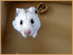 hello! (patries71) Tags: pet cute grey rodent furry box critter hamster grijs s5600 ar1 patries71