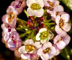 Alyssum (Harold Davis) Tags: harolddavis bokeh alyssum brassicaceae lobulariamaritima madwort