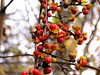 bittersweet (Muffet) Tags: autumn orange weed bittersweet utatathursdaywalk28