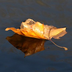 falling leaves (jude) Tags: autumn macro reflection nature water leaves closeup reflections square dead canal leaf bokeh quality floating 2006 explore jude judith float oneyear squared meskill judithmeskill interestingness4 eow specnature twtme fivestarsgallery abigfave highestposition4ontuesdayoctober312006 30faves30comments300views tiossealofapproval musicaltitle colorphotoaward 50faves50comments500views judeonflickr