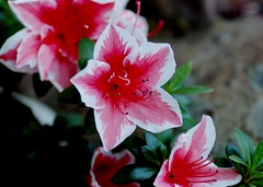 azalea (michenv) Tags: pink white flower beautiful spring australia azalea    mumanddadsgarden  michenv