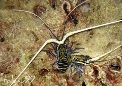 Spiny Lobster, Thailand