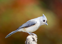 Yearbook Photo (J Gilbert) Tags: newjersey titmouse tuftedtitmouse somersetcounty bernardsville animalkingdomelite