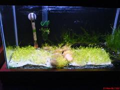 frente_20061101 (dgregory) Tags: water aquarium fresh aquario planted plantado riccia fluitans