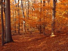 Herbstlaub im Wienerwald (ernst_raser) Tags: vienna autumn red nature forest automne austria herbst wald wienerwald viennawoods cobenzl automleaves herbstblaetter
