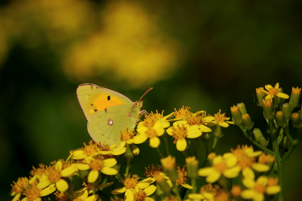 Clouded Yellow (Colias crocea)