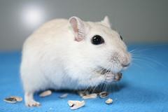 Jerry beim Essen (kjell_b_7101993) Tags: gerbil mouse sweet small jerry mongolian msel