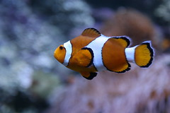 Nemo (Jinx1303) Tags: fish nemo aplusphoto