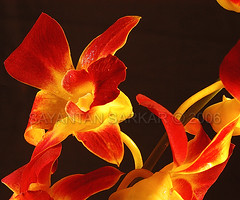 Orchid (Sayantan Sarkar - The Glamor Factory) Tags: red orchid flower color art yellow closeup petals forsale nikond100 studioshot exclusive indianart 10faves i500 photostock photosforsale indianphotography nikonstunninggallery abigfave indianphotographer globalphotography aplusphoto framezunlimited commercialphotographerindia indianadvertisingphotographer indiancommercialphotography kolkataphotographer indianimaging artdirectorschoice stockimagesforsale personalphotodatabase sayantansarkarphotographyfullcollection glamorfactoryimagegallery indianphotographersphotosforsale