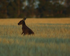 'Silence is golden' (Jules) Tags: d50 ilovenature nikon kangaroo southaustralia strathalbyn animaladdiction specanimal totallyobsessiveflickerites animalkingdomelite