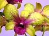 Dendrobium Paskal Kuning 'Hawaii'