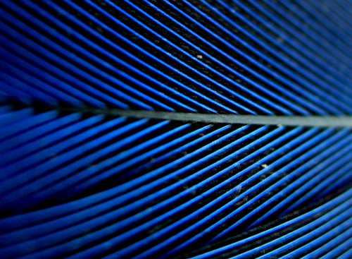 Electric Blue feather
